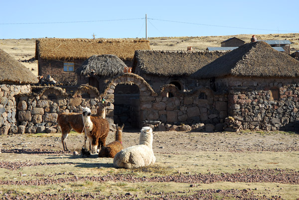 Alpaca and Llamas in front of a traditional house on the road to Sillustani
