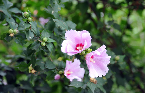 Hibiscus syriacus, the national flower of South Korea