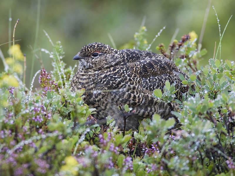 rock ptarmigan (summer plumage) <br> alpensneeuwhoen <br> Lagopus mutus