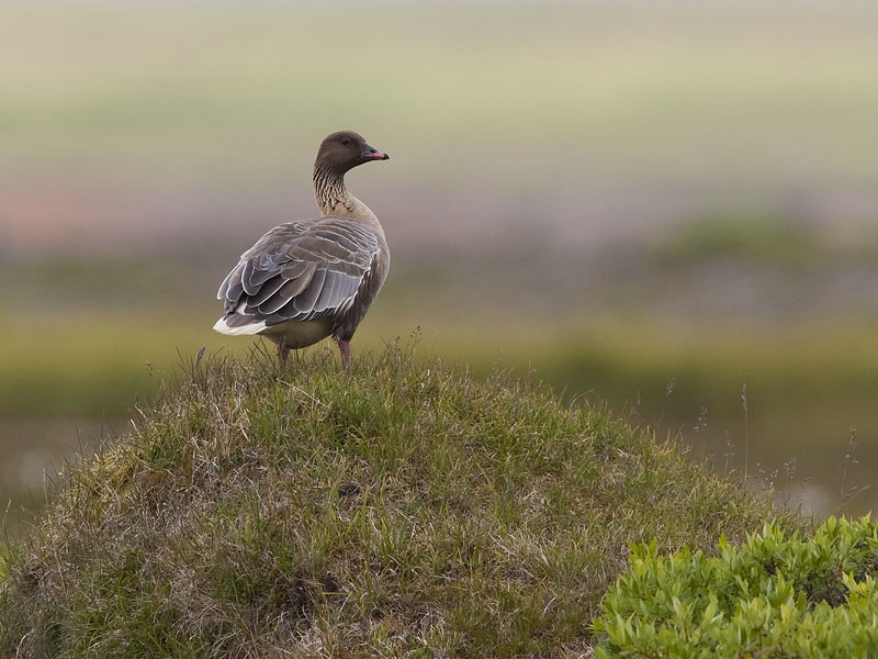 pink footed goose <br> kleine rietgans <br> Anser brachyrhynchus
