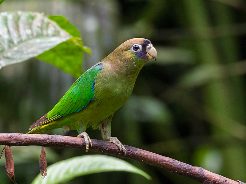 scarlet-shouldered parrotlet <br> Touit huetii