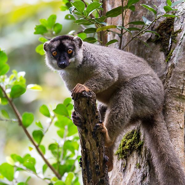 common brown lemur <br> Eulemur fulvus