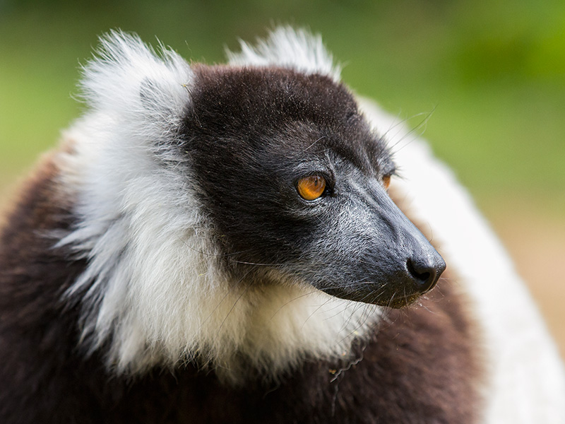 black-and-white ruffed lemur <br> Varecia variegata