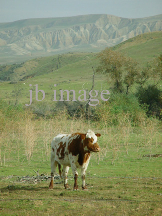 CA cow in rolling hills