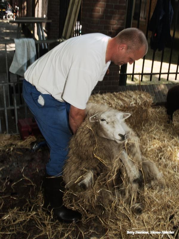 Zet het schaap rechtop