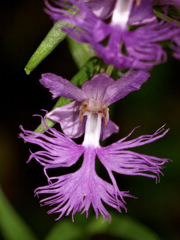 Platanthera xkeenanii (?) (pale frilly orchid)