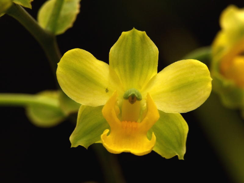 Cyrtopodium polyphyllum closeup