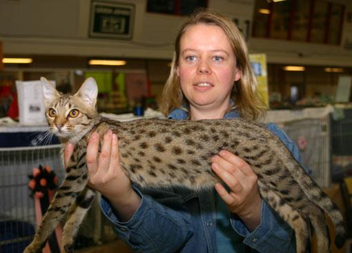 CH S*Junglespots Prue Halliwell on show as a kitten