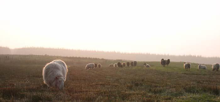 Shetlands in the mist