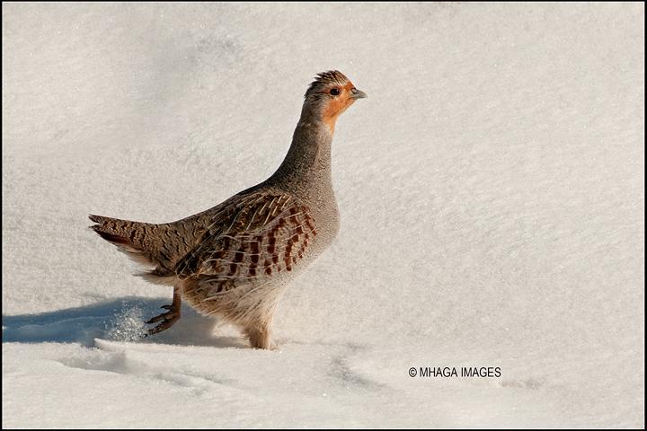 Gray Partridge, Blucher, Saskatchewan