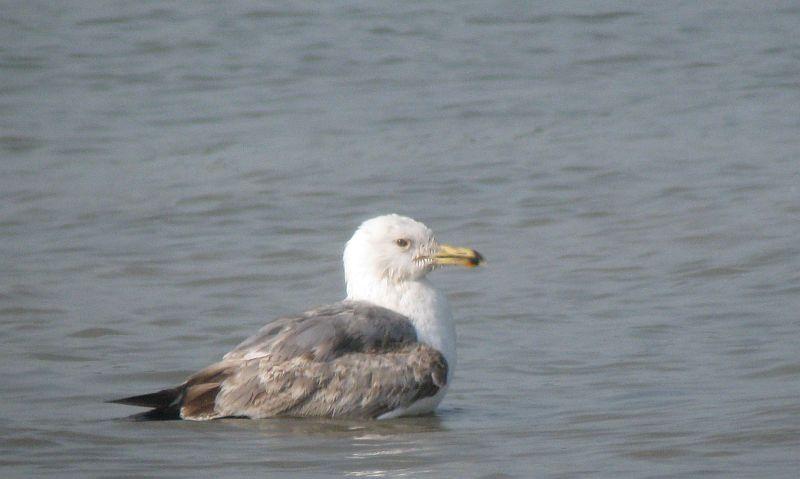 Heuglins Gull