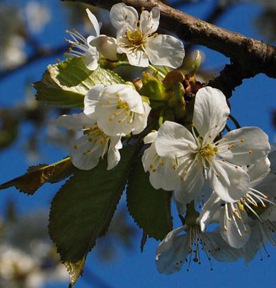 Kirsebærblomster - Cherryflowers
