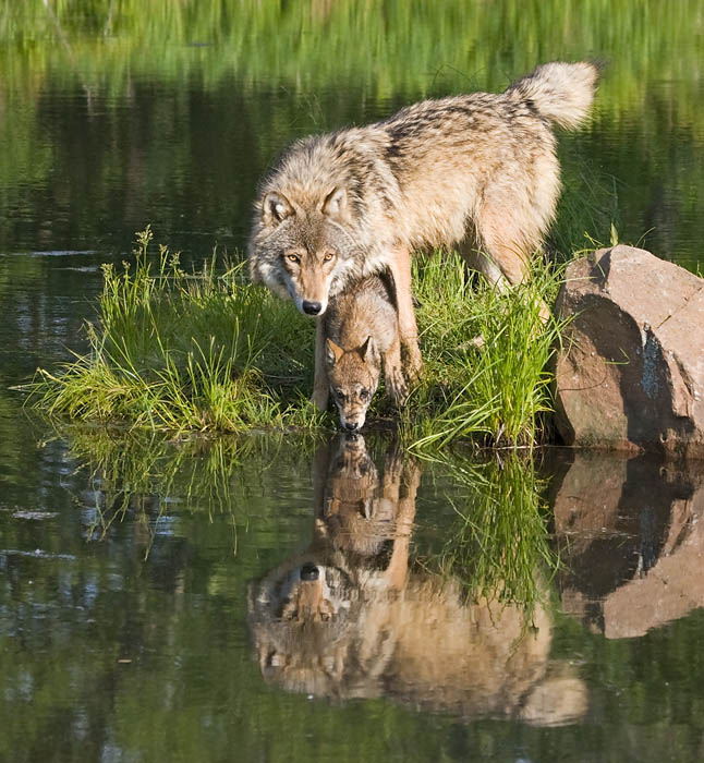 Wolf Pup Drinking