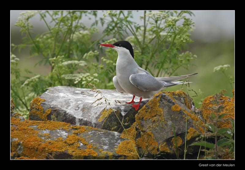 0401 arctic tern, Inner Farne