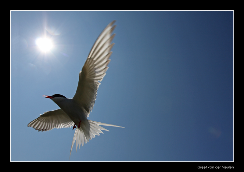 4071 flying arctic tern
