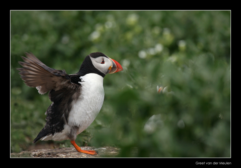 9851 puffin pumping up flying muscles