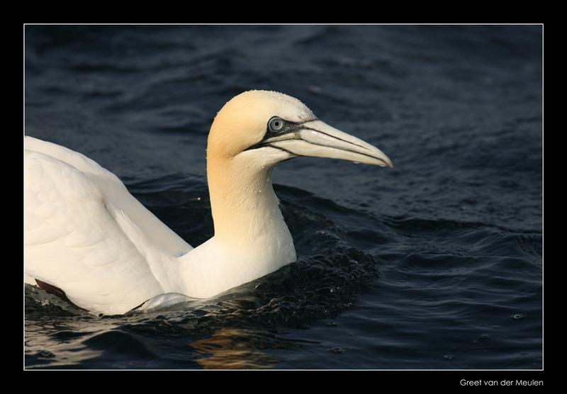 1025 swimming gannet, Bass Rock