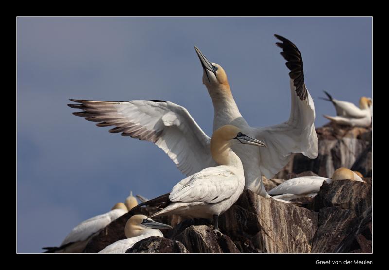 1764 gannet spreading wings, Bass Rock