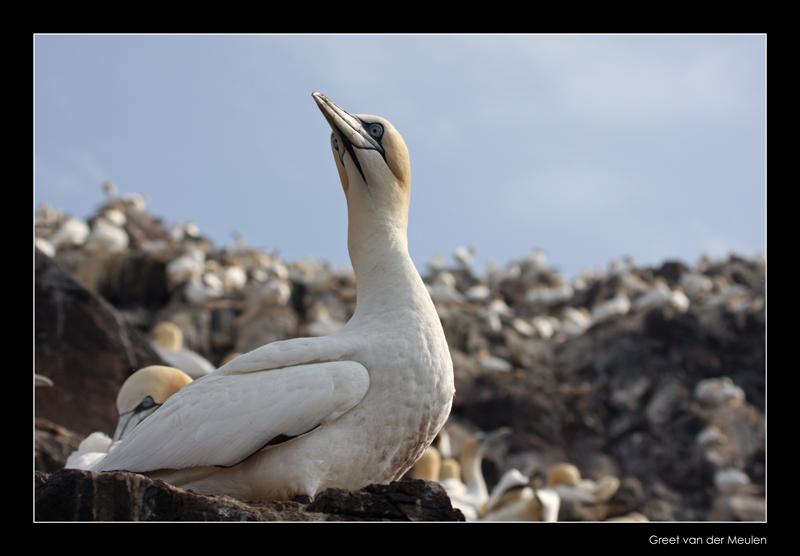 1737 gannet on Bass Rock