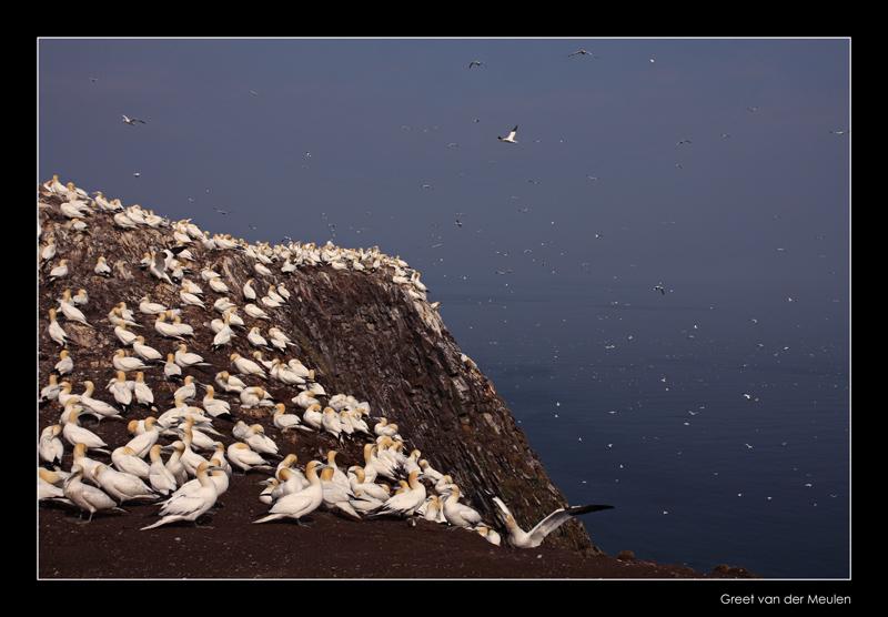 1557 gannets on the cliffs of Bass Rock