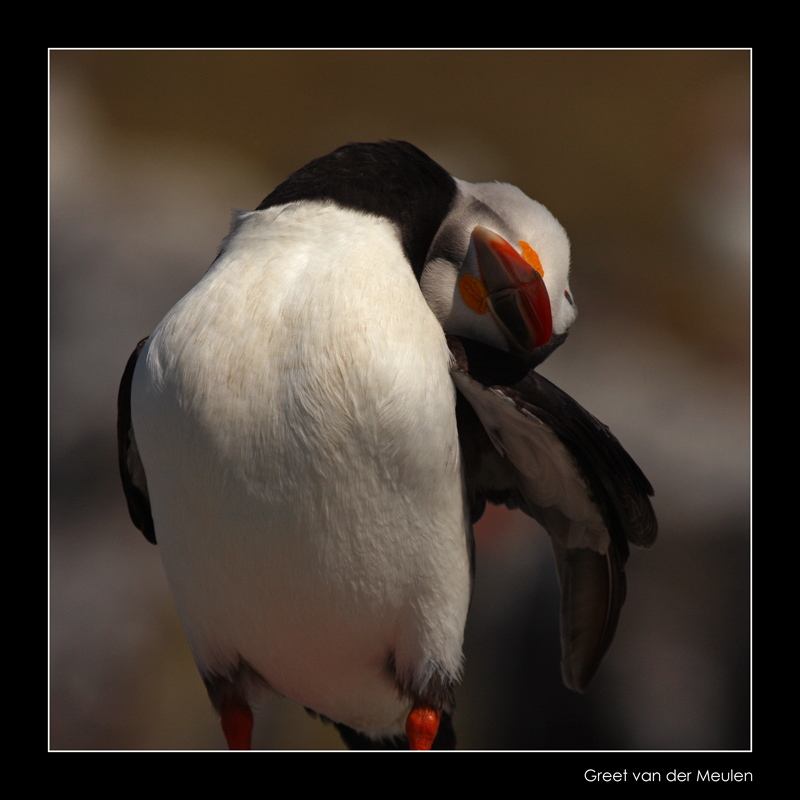 2908 puffin from different perspective