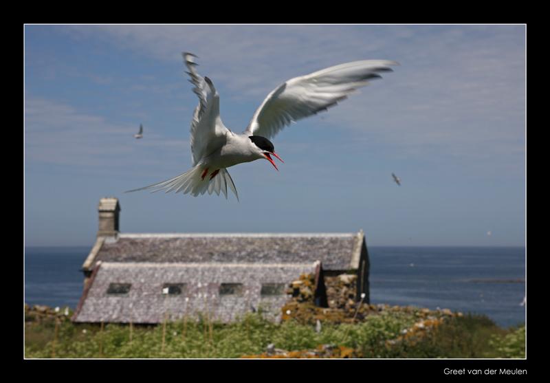 3642 arctic tern on Inner Farne