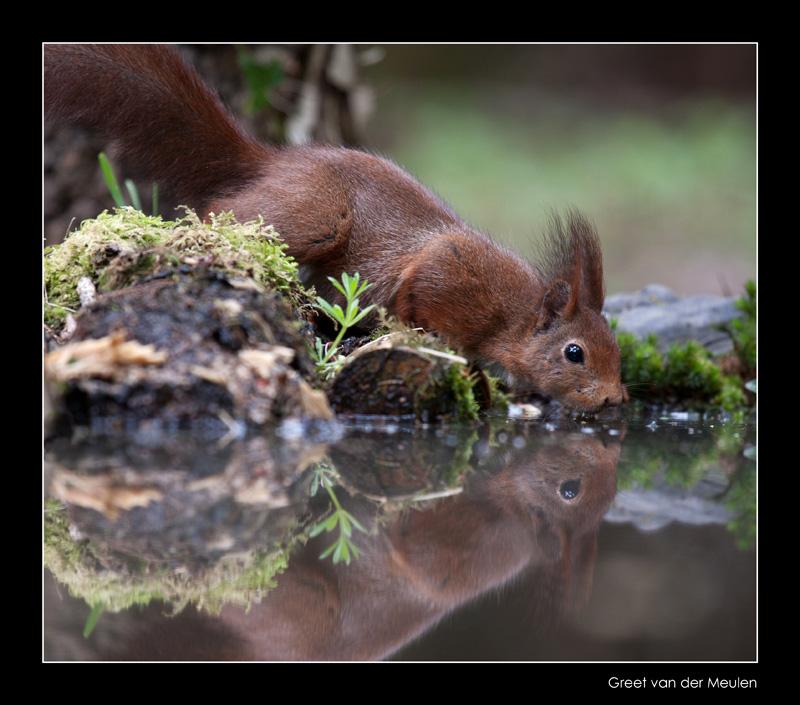 5851 drinking red squirrel