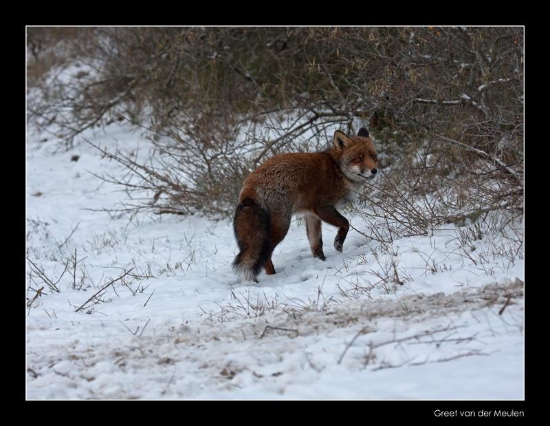 7787 fox in snow