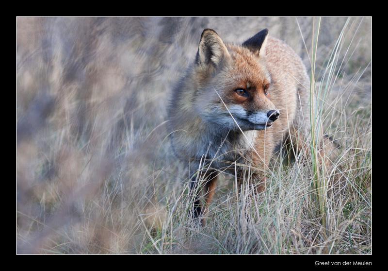 9705 fox in motion