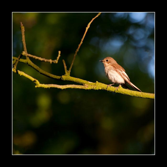 7389 pied flycatcher in eveninglight