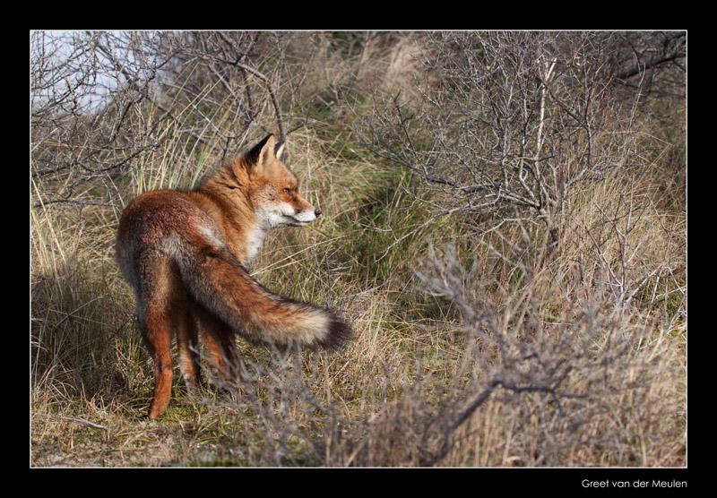 0096 fox