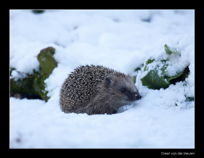 0949 hedgehog in snow