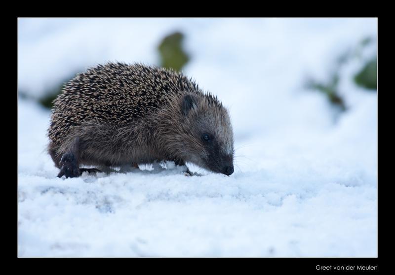0809 hedgehog in snow