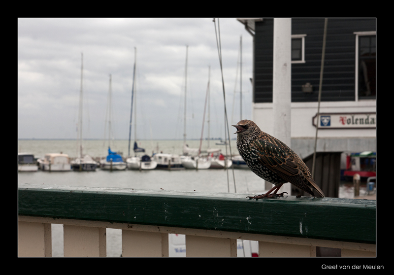 3982 starling in harbour