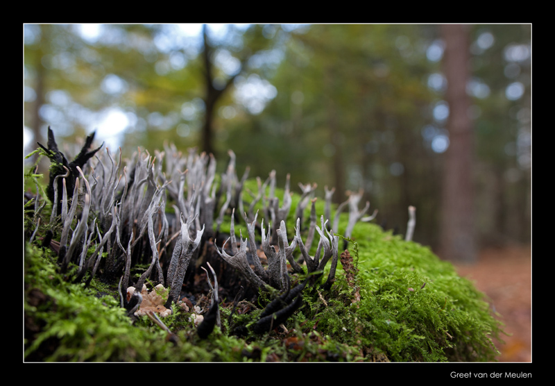9207 candlesnuff fungus in beech forest