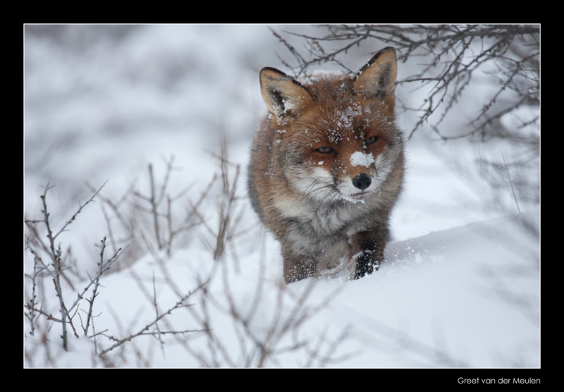 1586  fox in snow