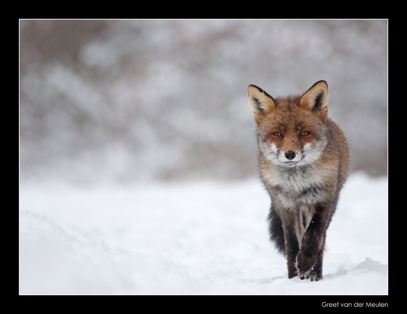 1737 fox in snow