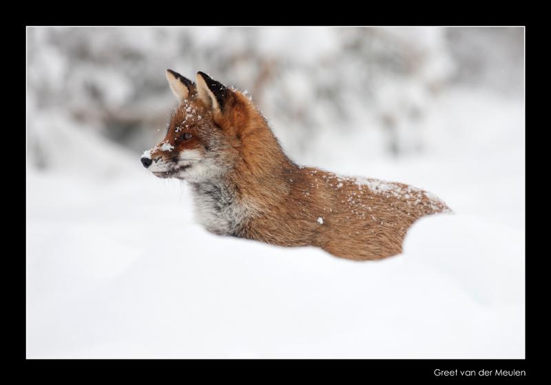 1564 fox in snow