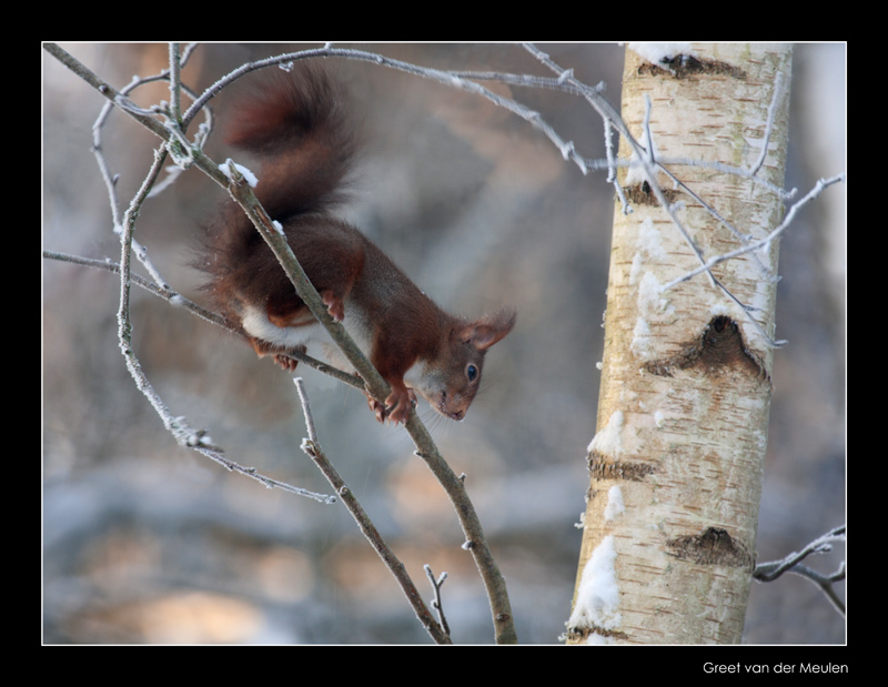 2870 red squirrel in winter
