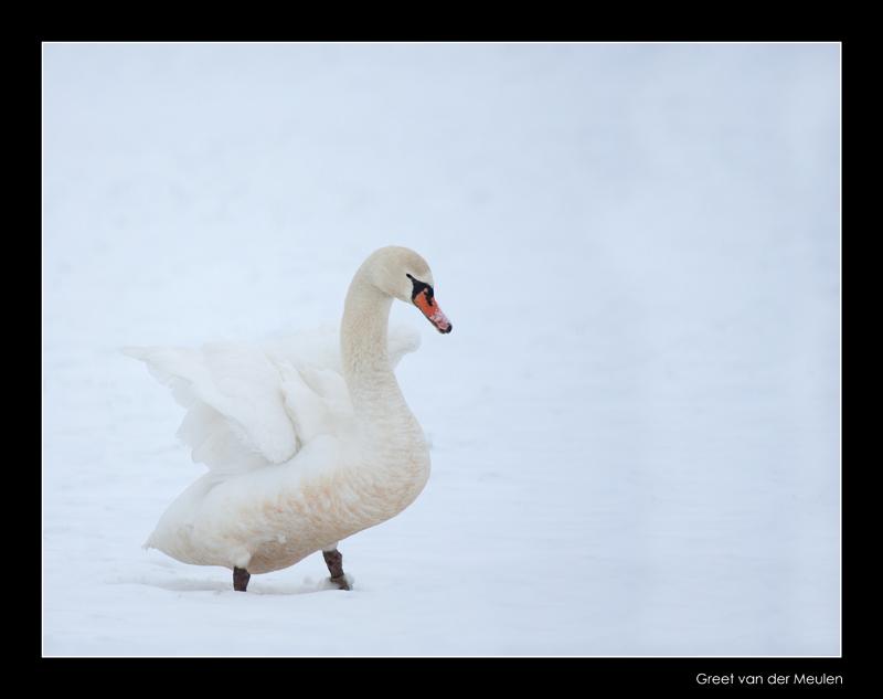 4994 mute swan spreading wings