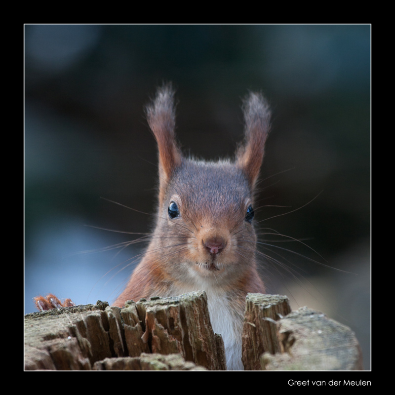 7461 red squirrel