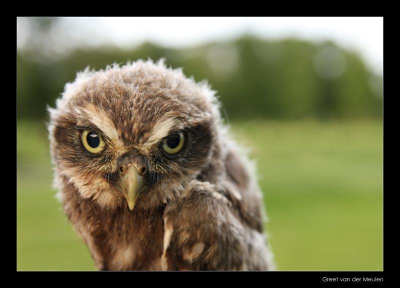 8305 juvenile little owl