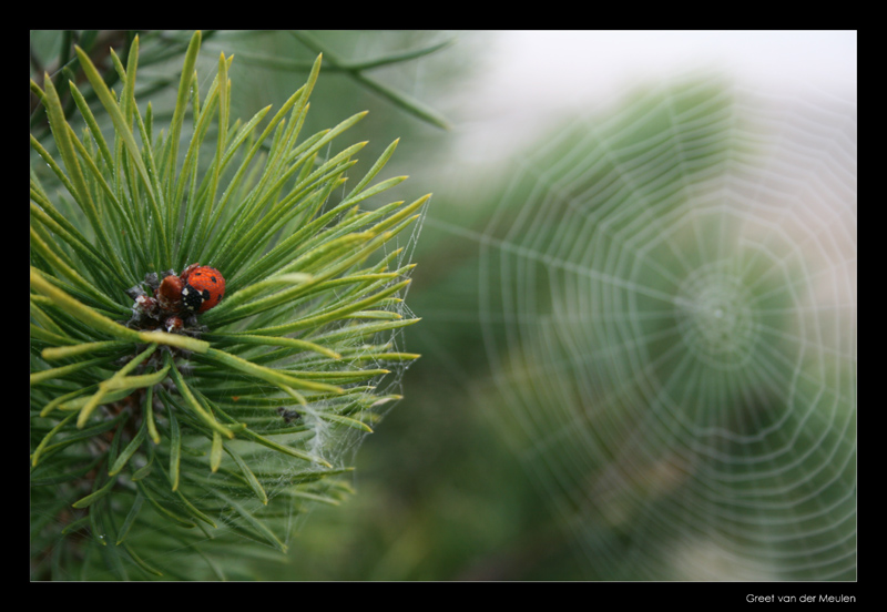 9351 ladybug and spiders web on a misty morning