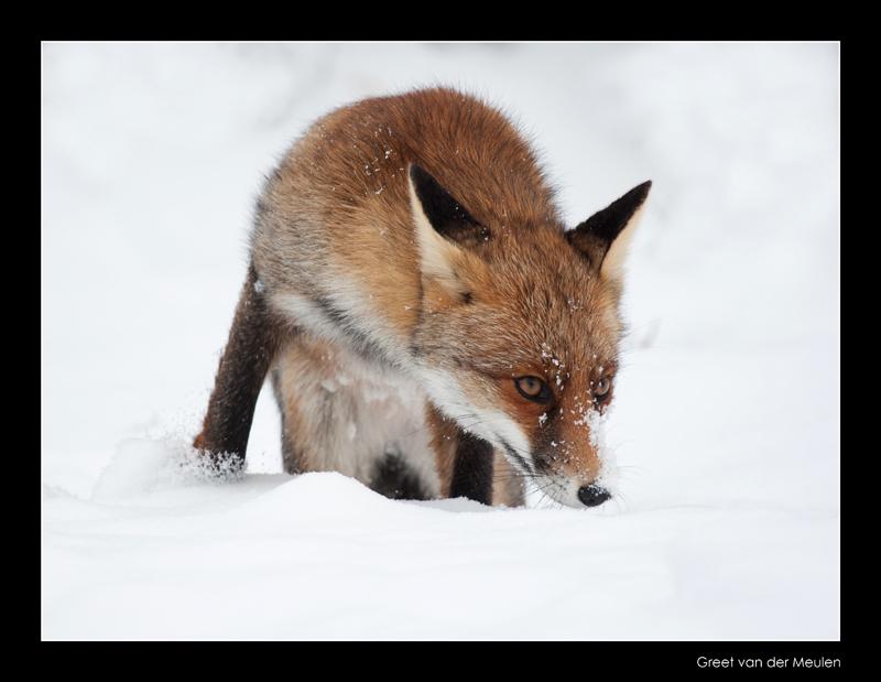 1406 fox in snow