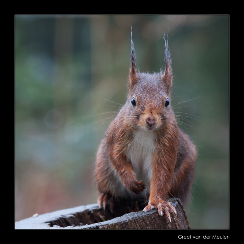 9670 red squirrel