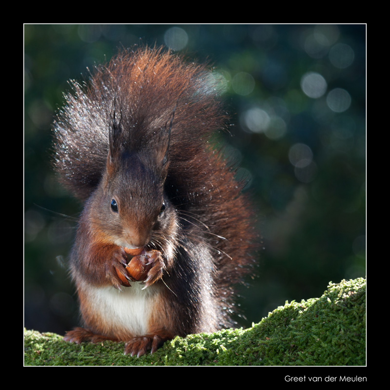 0627 red squirrel
