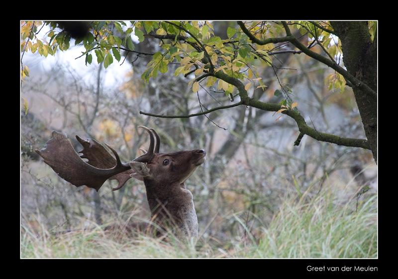 1402 fallow deer