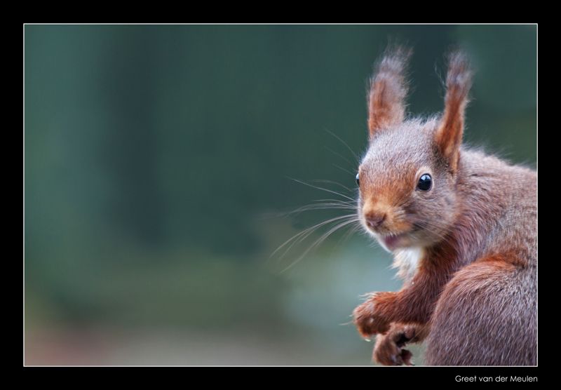 2079 red squirrel