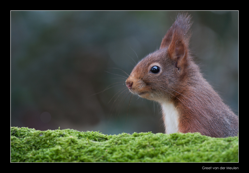 2380 red squirrel