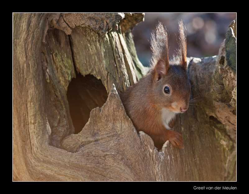 4075 red squirrel